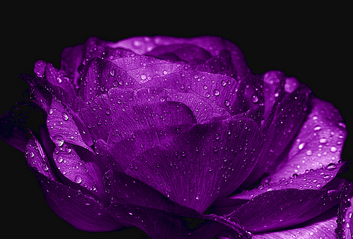 Photo of a purple rose.