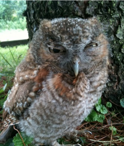 Owl Squinting