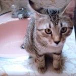 a gray striped kitten sitting on a pink sink