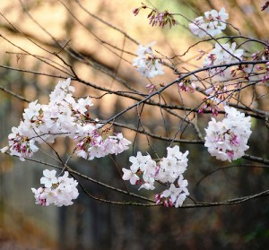 Light pink blossoms on a tree