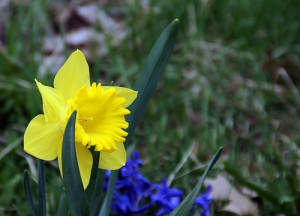 Close up of daffodil in the grass