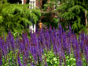 Close up of purple flowers with trees and a brick building in the background