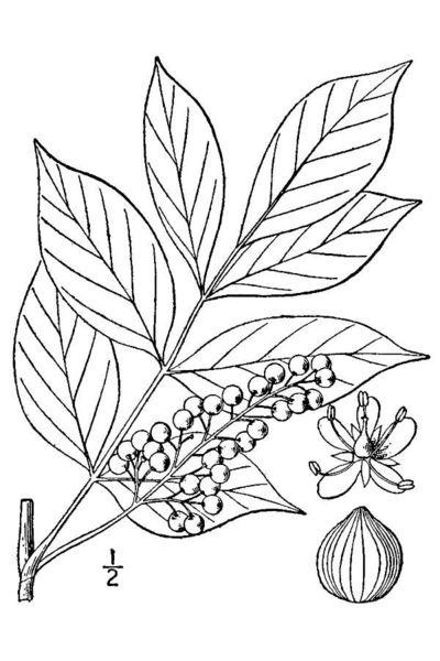 poison sumac rash images. pictures of poison sumac rash.