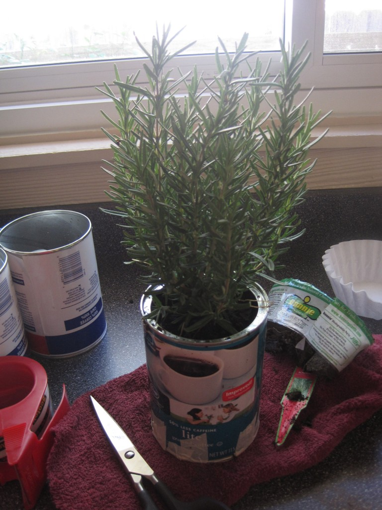 Herb planted in can
