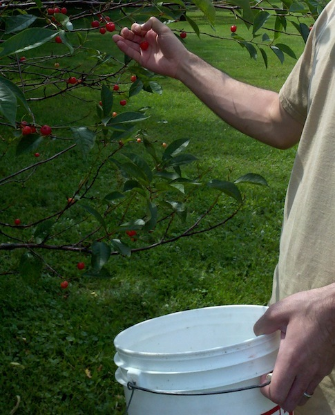 a man's hands picking cherries from a tree and putting them into a white bucket