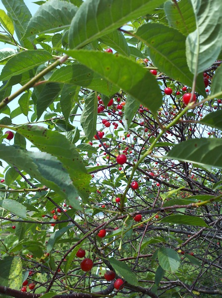 a picture from the perspective of the ground looking up at the branches of a tree that has a lot of small red cherries on it. you can see glimpses of sunlight through the leaves.