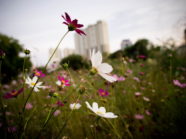 Tall white, pink, and purple flowers reach high into the sky with an apartment building blurred in the background.