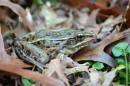 image of new species of leopard frog found in NYC