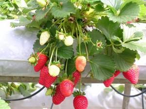 strawberries on a farm