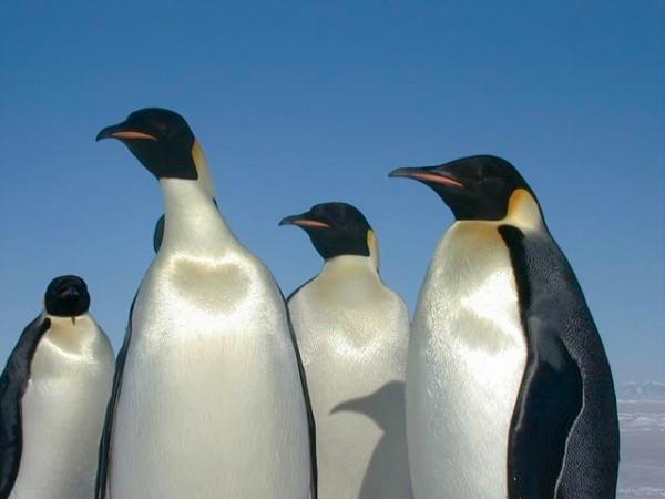 Four emperor penguins against blue sky