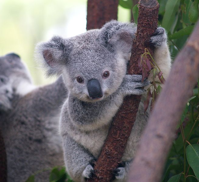 Baby koala gripping tree branch
