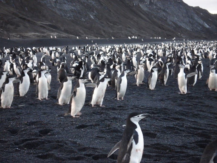 hundreds of penguins rushing to sea