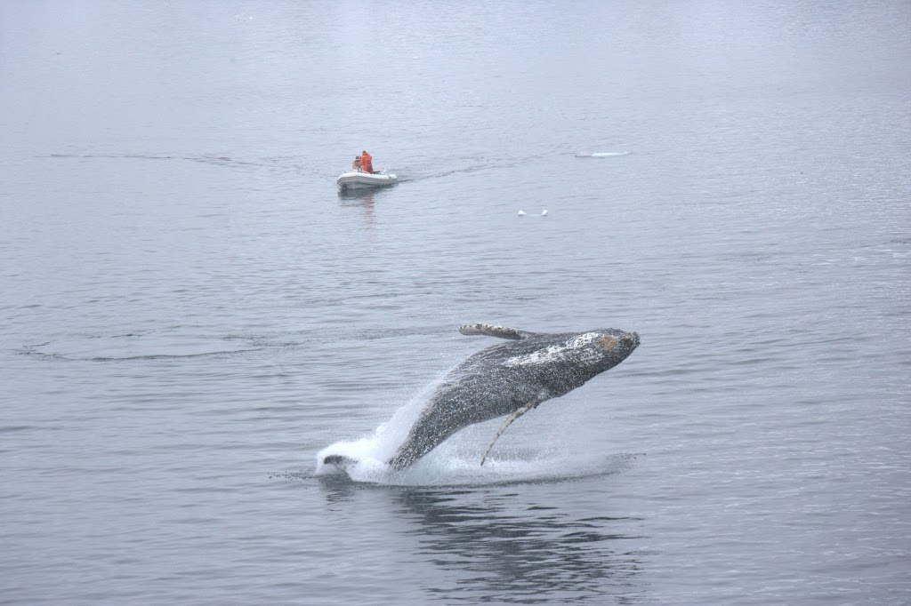 baby humpback whale breaching the water while zodiac boat sits closeby