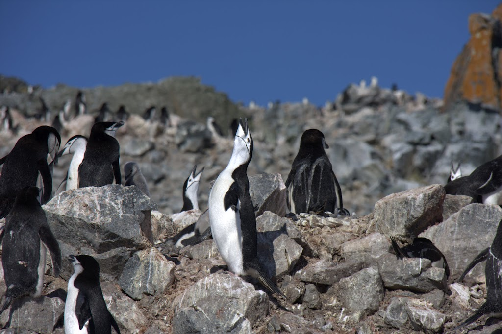 penguin on a rock with his head thrown back