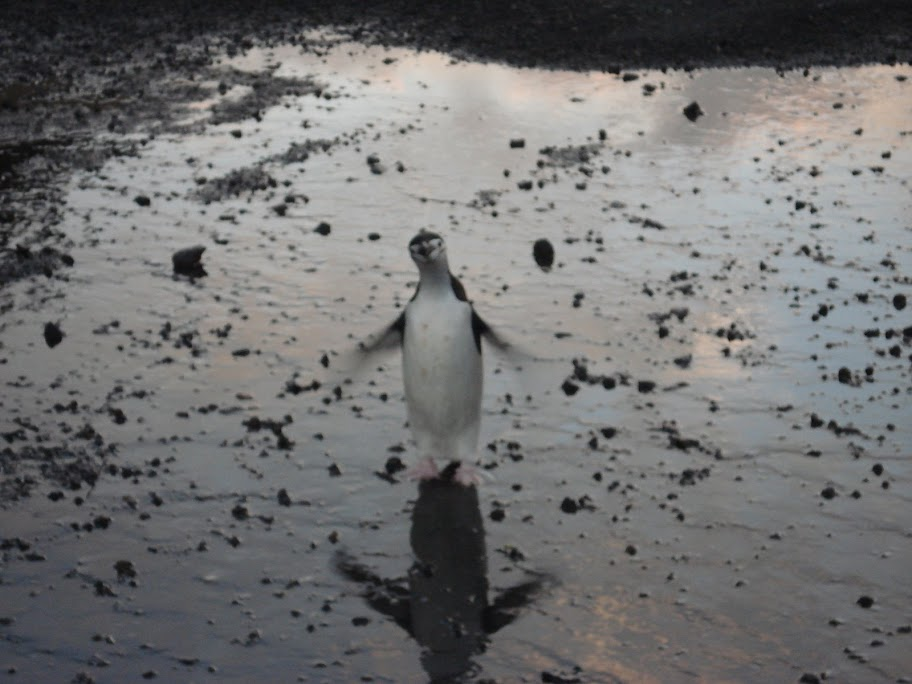 penguin standing on wet ground with flippers outstretched
