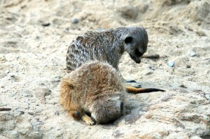 Two meerkats, one with its head on the ground between its front paws and the other looking at the ground