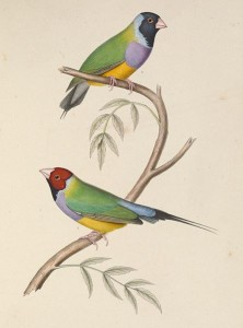 Illustration of two Gouldian finches perched on a branch, one with a red head and the other with a black head