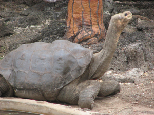 Photograph of Lonesome George, the last Pinta Island giant Galapagos tortoise