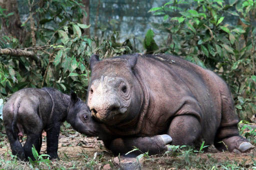 Image of mother Sumatran rhino with her newborn standing next to her