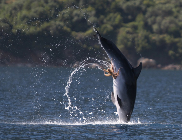Dolphin leaping out of the water with an octopus attached to its genital slit