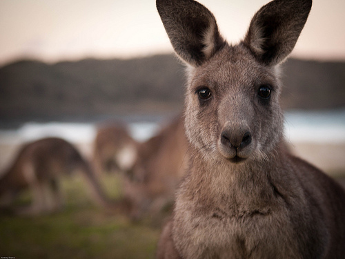 Picture of a Kangaroo