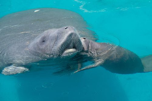 "Mother manatee being ""kissed"" on the cheek by her calf"