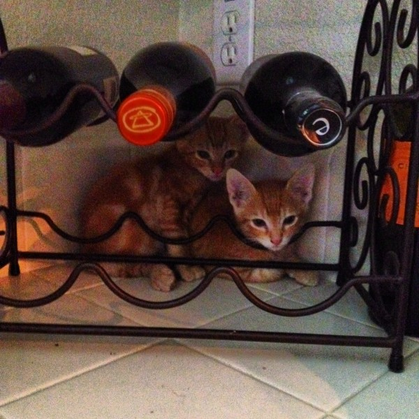 two orange tiger kittens hiding behind a wine rack, one resting it's chin on the rack