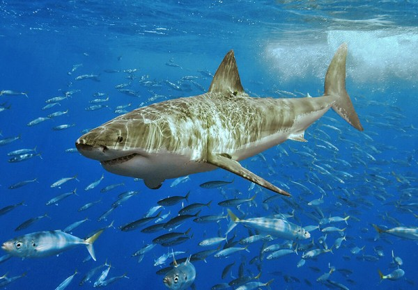great white shark surrounded by a school of small fish