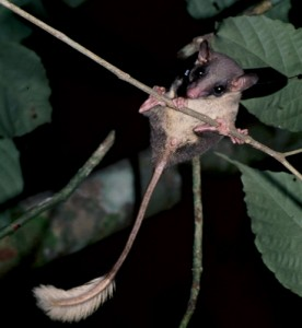pen-tailed tree shrew clinging to slender branch