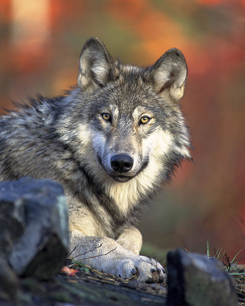 Gray wolf lying down and looking directly at the camera.
