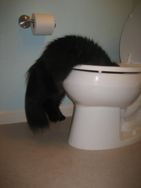 black fluffy cat hanging out of toilet while he drinks from the bowl