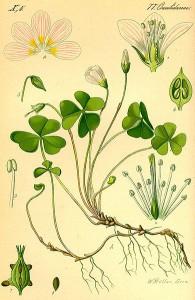 Botanical drawing of wood sorrel and its parts