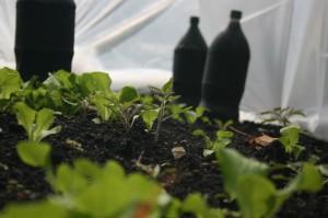 Seedlings and black soda bottles inside hoop house