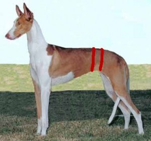 Ibizan Hound with lines drawn in to highlight its very thin waist.