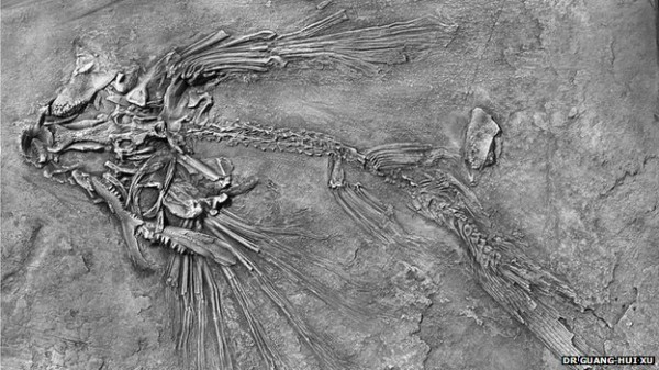 Fossilized flying fish skeleton, with long fins in the front that served as glider wings