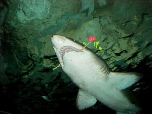 Shark with rose clutched in teeth.