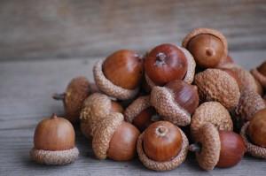 A pile of acorns