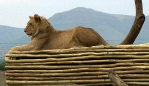 lion lying atop a wooden platform