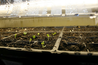 Seedlings in shallow starter trays, under a florescent light.