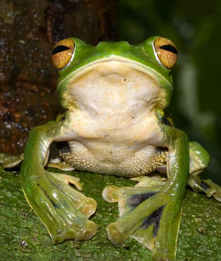 A green frog with long webbed toes