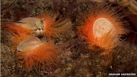 Three flame shells on a rock underwater. The shells are pale and round and have a fringe of orange tentacles.