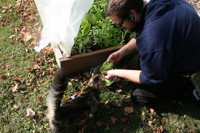 Man kneeling outside a hoop house, showing greens to a cat.