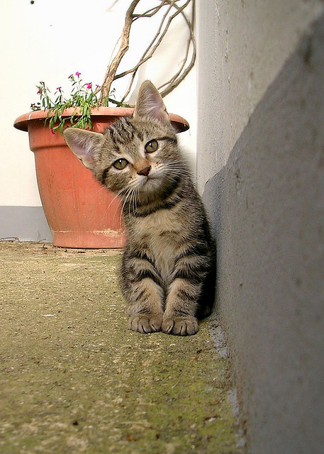 Disgruntled looking kitten with a cocked head, in front of a flower pot.