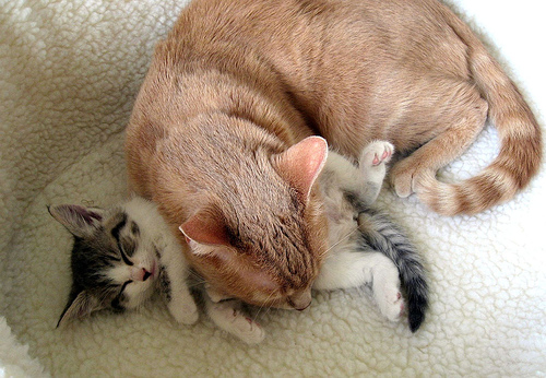 Adult tabby cat is using a tiny gray and white kitten as a nap pillow.