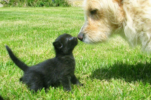 Tiny black kitten touching noses with a golden large breed dog.