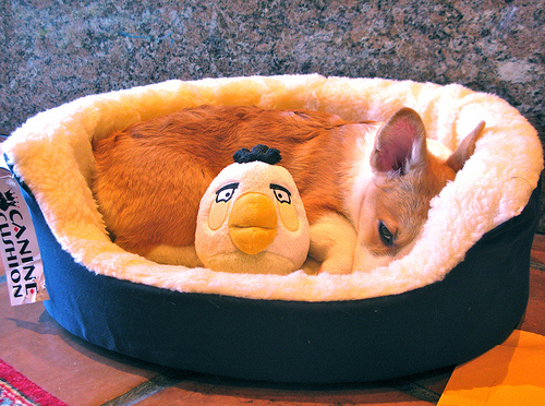 Adorable sweet-faced puppy in a fuzzy dog bed, snuggling with a stuffed angry bird plushie.