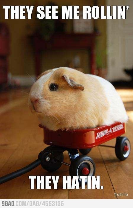 "A guinea pig in a tiny Radio Flyer wagon, captioned ""They See Me Rollin' They Hatin'"""