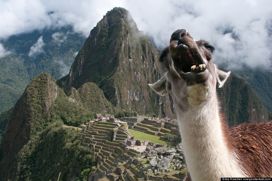 Photo of Machu Picchu, with a llama in the foreground with its mouth wide open