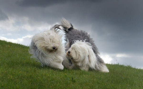 Two english sheepdogs playing on a green hillside.