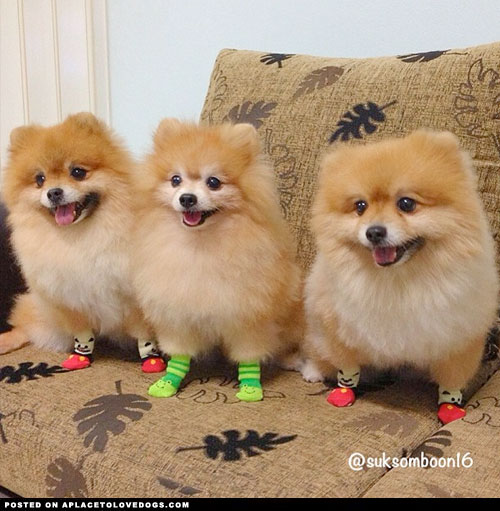 Three happy Pomeranians wearing socks